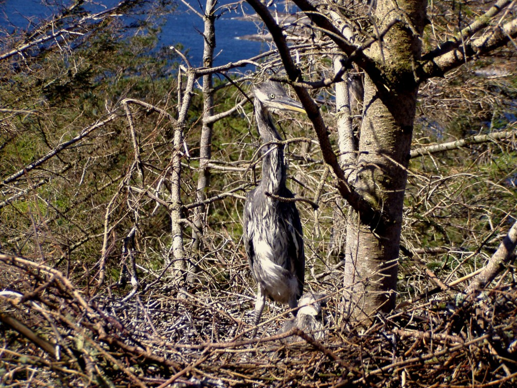 young-herons-5may-1024x768