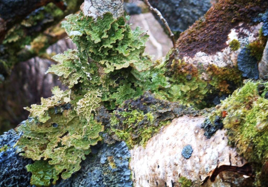 Lichens 019